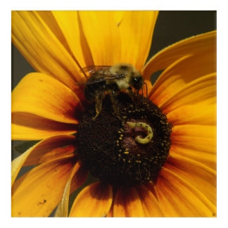Bumble Bee and Flower, Acrylic Print. Acrylic Wall Art