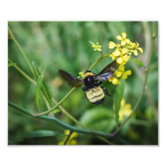 Bumble Bee in Flight Photo