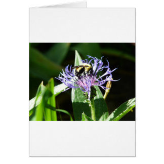 bumble bee on a bachelor button greeting cards
