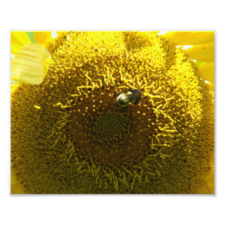 Bumble Bee on a Sunflower, Photo Print.