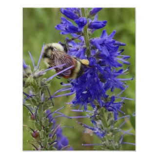 Bumblebee gathers pollen on wildflowers poster