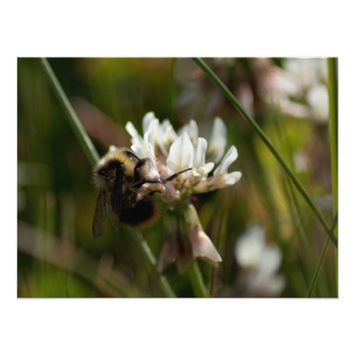 Bumbling in the Clover; No Text Photo