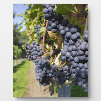 Bunches of blue grapes with path photo plaques