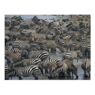 Burchell s zebras Equus burchelli Masai Mara Postcards