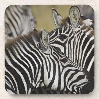 Burchelli's Zebra, Equus burchellii, Masai Mara, 3 Coasters