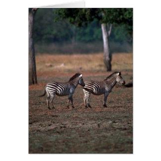 Burchell's Zebra Greeting Card