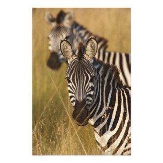 Burchell's Zebra in tall summer grass, Masai Photo Art