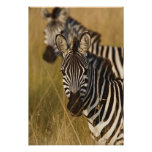 Burchell's Zebra in tall summer grass, Masai Poster