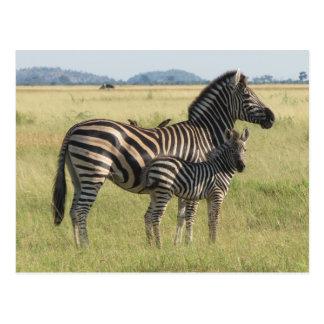 Burchell's zebra postcard, mother with foal postcard