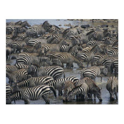Burchell's zebras (Equus burchelli), Masai Mara, Postcards