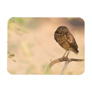 Burrowing Owl at sunrise Magnet