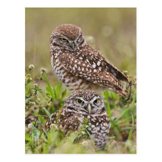 Burrowing Owl, Athene cunicularia, Cape Coral, Postcard