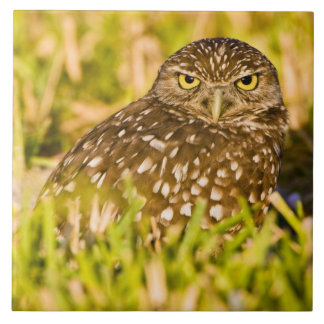 Burrowing owls are a popular site on Marco 3 Large Square Tile