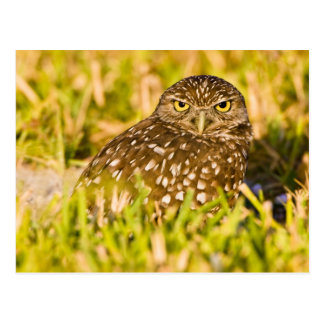 Burrowing owls are a popular site on Marco 3 Postcard