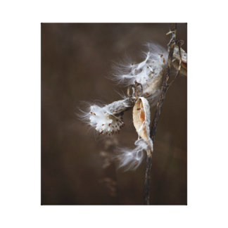 Burst Milk Weed Seed Pod Dramatic Botanical Photo Canvas Print