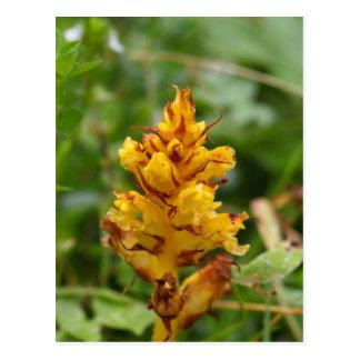 Butterbur broom (Orobanche flava) Postcard