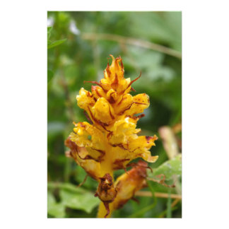 Butterbur broom (Orobanche flava) Stationery