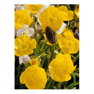 Buttercups and grass head post card