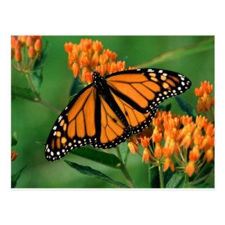 butterflies monarch butterfly postcard