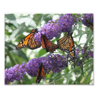 Butterflies Photograph