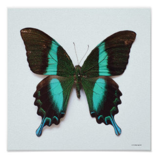 Butterfly found in regions of Asia and India Poster