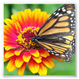 Butterfly on a Flower Photograph