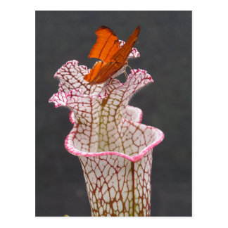 Butterfly on Sarracenia leucophylla Photo Postcard