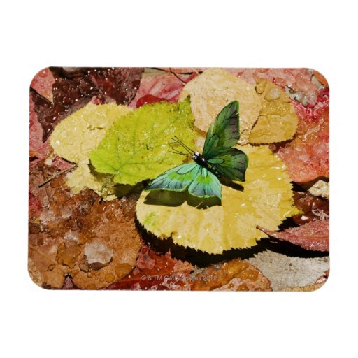 Butterfly on wet autumn leafs rectangular magnets