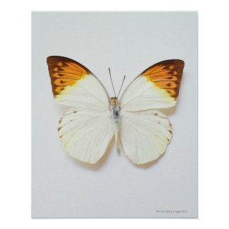 Butterfly with wingspread, found in regions of Asi Posters