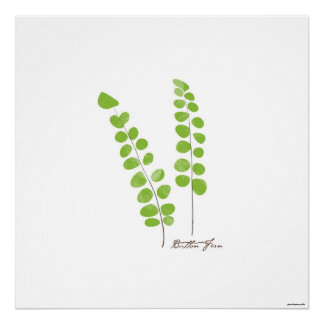 Button Fern Illustration |  Fern Botanical Print