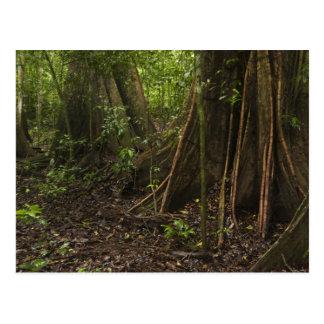 Buttress Roots. Rainforest, Mapari Rupununi, Postcard