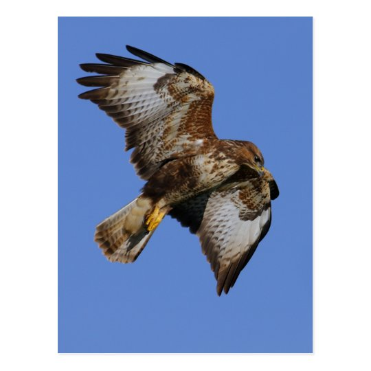 Buzzard  2 postcard