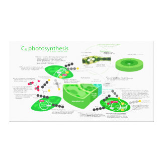 C4 Photosynthesis Diagram Stretched Canvas Prints