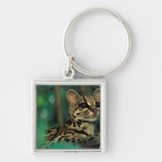 CA, Central Panama, Soberania NP, Margay Key Ring