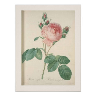 Cabbage Rose Botanical English Roses Poster