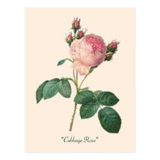 Cabbage Rose Botanical Print Post Cards
