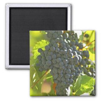 Cabernet Sauvignon grape bunch in the Chateau Square Magnet