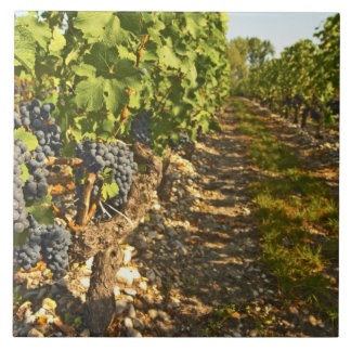 Cabernet Sauvignon vines in a row in the Large Square Tile