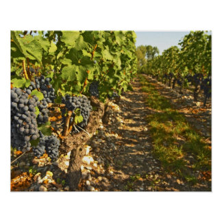 Cabernet Sauvignon vines in a row in the Poster
