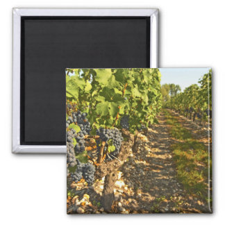Cabernet Sauvignon vines in a row in the Square Magnet
