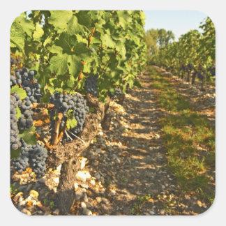 Cabernet Sauvignon vines in a row in the Square Sticker