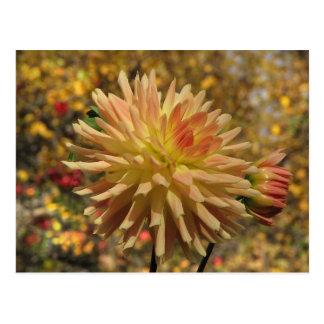 Cactus Dahlia Postcard