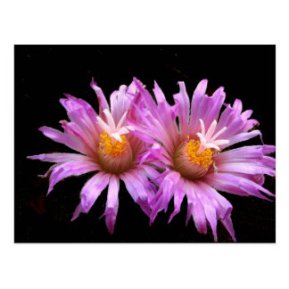 Cactus Flowers on Postcard