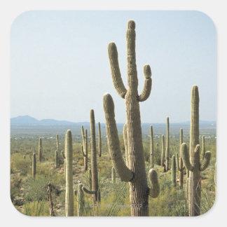 Cactus in Saguaro National Park , Arizona 2 Square Sticker