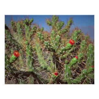 Cactus plant, Colca Canyon, Peru, South America De Flyers