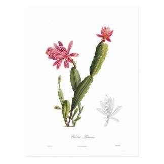 Cactus speciosus postcard
