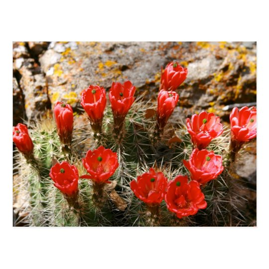 Cactus with Beautiful Red Blooms Postcard