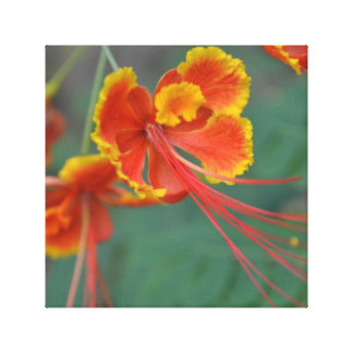 Caesalpinia Stretched Canvas Prints