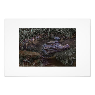 Caiman at Water with Menacing Look Photo Print