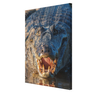 Caiman shows its teeth, Brazil Canvas Print